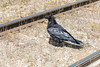 Raven between the tracks after spotting an egg on the ground.