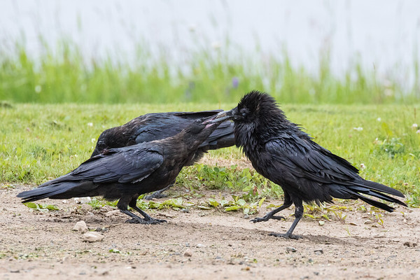 Adult raven at right with food with head feathers chuffed up, juvenile raven at left trying to get food. Second juvenile in background.
