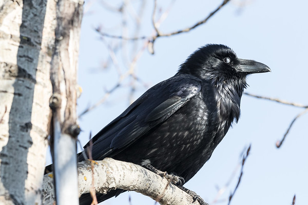 Nictating membrane half covers eye of raven in tree.