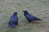 Two ravens waiting for sunrise.