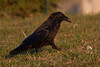 Raven walking on grass