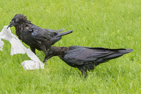 Adult raven with food (lard) watched by juvenile raven. Both wet.