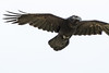 Raven in flight, overhead, one wing tip out of frame.