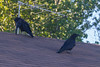 Two ravens on a roof.