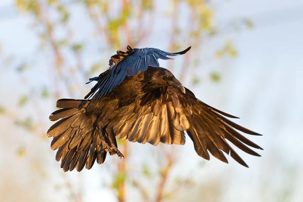 Raven in flight, wings down