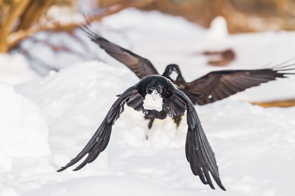 Two ravens flying with lard in beaks. Processed 2021 January 28