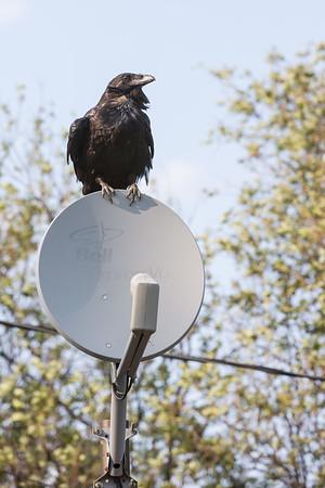 Raven sitting on satellite dish.