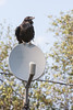 Raven sitting on satellite dish.