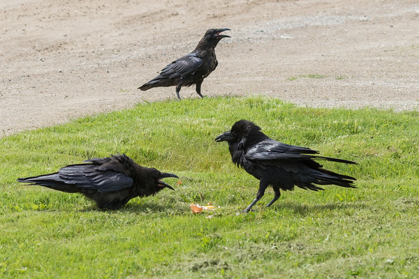 Juvenile raven at left crying for food to adult raven at right with egg. Juvenile crouched down low. Another juvenile in background.
