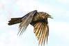 Raven flying by, wings down, head inclined.