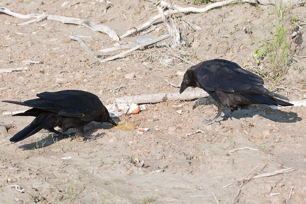 Two ravens, adult eating broken egg on ground, juvenile watching (right)