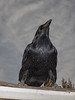 Raven standing on the roof. Color Efx Detail extractor.