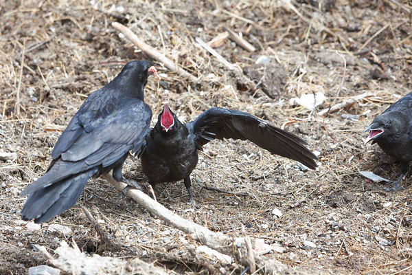 Two juvenile ravens with mouths open in front of an adult raven with food in its mouth.