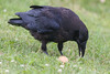 Juvenile raven not sure what to do with an egg.