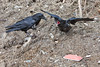 Juvenile raven (right) opens mouth and flaps wings in front of an adult raven (left).