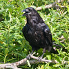 Raven on branch, leaves in background