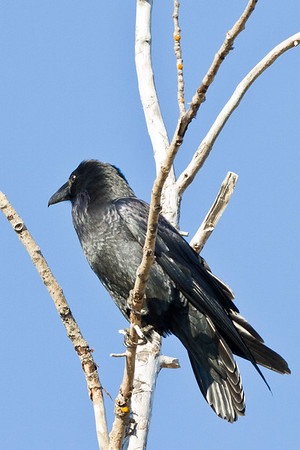 Raven in a tree.