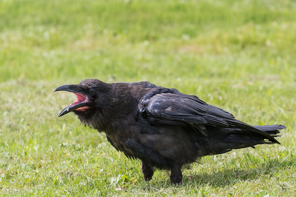 Juvenile raven with beak open. Both feet on the ground.