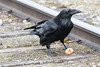 Raven enjoying an egg between the tracks.