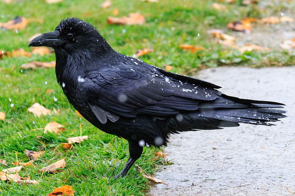 Raven sprinkled with snow