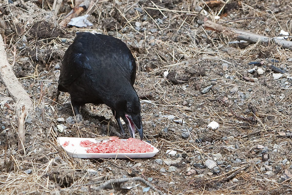 Juvenile raven starts to eat ground beef after observing adult raven eating it.