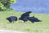 Adult raven with lard feeding two  juvenile ravens. Adult fly over to juveniles with lard.