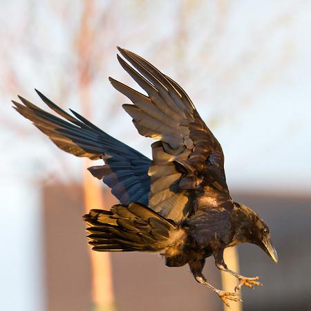 Raven in flight, descending, feet extended