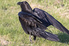 Raven walking, wings out. One wing tip out of frame.