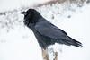Raven at public docks site in Moosonee.