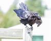 Raven poised to fly off railing post on railway bridge.