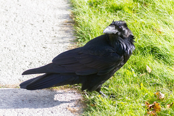 Raven on the grass beside sidewalk.