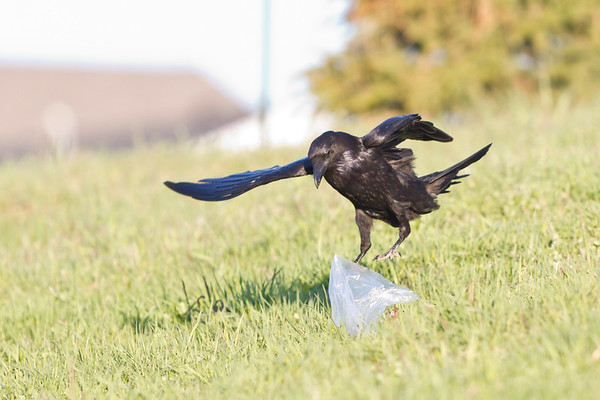 Raven jumping up to investigate a plastic bag