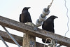 Two ravens on hydro pole