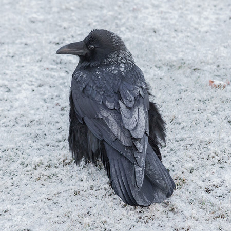 Frosted raven on snowy lawn.