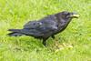 Raven enjoying grapes.