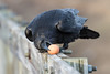 Raven bending to pick up an egg from railing on railway bridge.