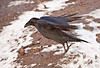 Raven about to land on snow and gravel, feet down and angled to ground.