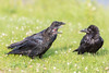 Two juvenile ravens at left with adult at right (out of focus). One juvenile with beak open.