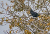 Raven in a tree as snow falls 2018 October 15.
