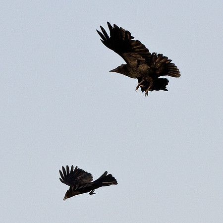 Raven (larger bird) and crow interacting.<br /> Cropped image.