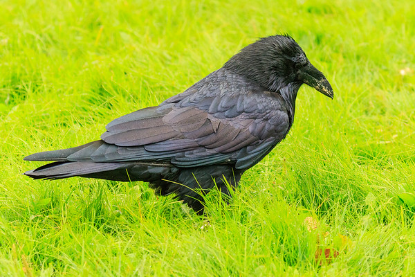 Wet raven in the grass.