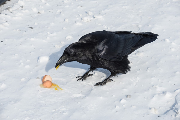Raven eating a broken egg.