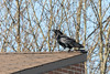 Raven on roof of Ontario Government Building during harrassment by three crows (not shown).