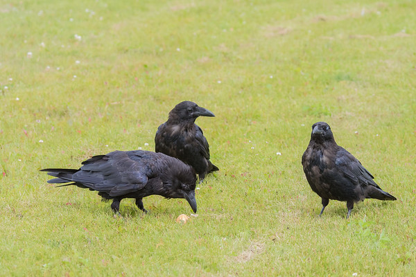 Two juvenile ravens watching an adult raven feed.