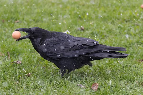 Raven in light snow picking up an egg.