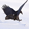Raven about to land, view from behind, one wingtip out of frame