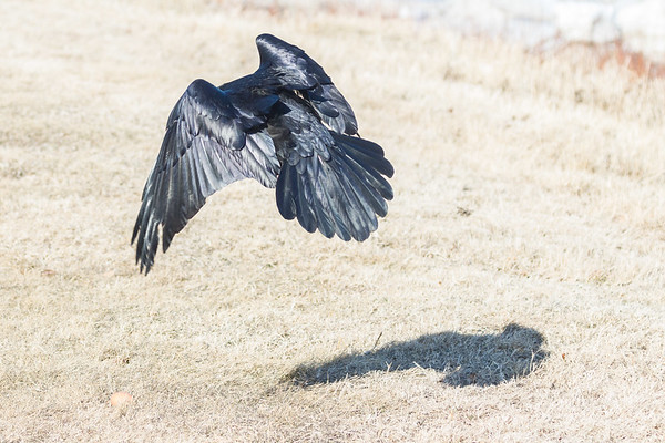 Raven about to land.