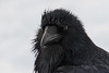 Raven, headshot. Water dripping from beak. Head turned.