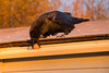 Raven picking an egg out of an eavestrough at dawn. 2013 October 4