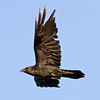 Raven in flight,side view, wing up